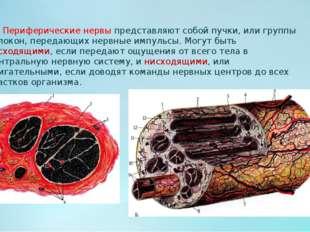Периферические нервы представляют собой пучки, или группы волокон, передающи