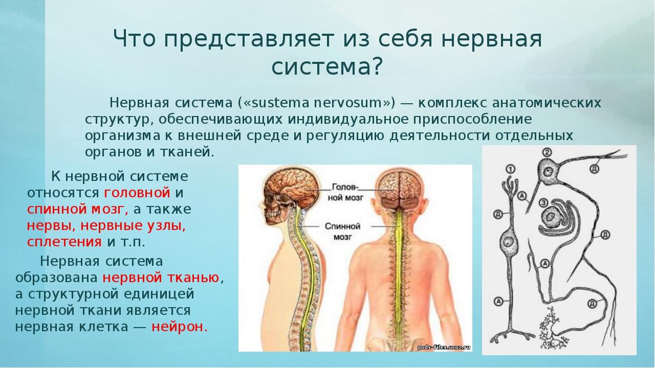 Что представляет из себя нервная система? Нервная система («sustema nervosum...