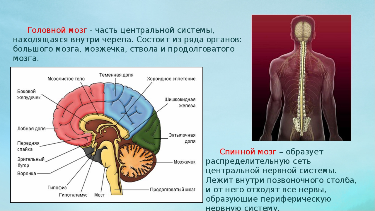 Головной мозг - часть центральной системы, находящаяся внутри черепа. Состои...