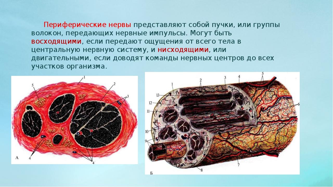 Периферические нервы представляют собой пучки, или группы волокон, передающи...