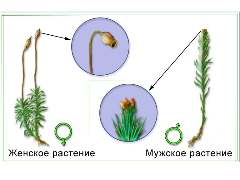 Размножение кукушкиного льна