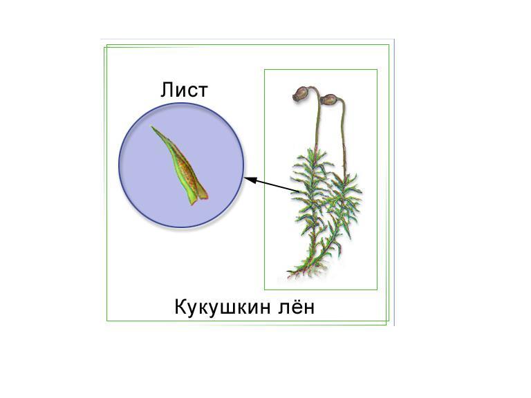 Листья кукушкиного льна