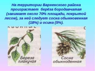 На территории Варненского района произрастает берёза бородавчатая (занимает о