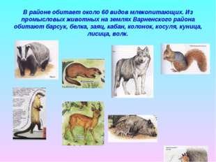 В районе обитает около 60 видов млекопитающих. Из промысловых животных на зем