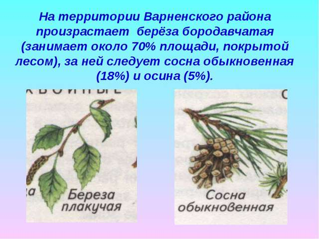 На территории Варненского района произрастает берёза бородавчатая (занимает о...
