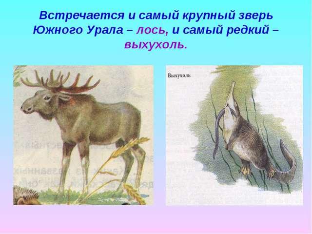 Встречается и самый крупный зверь Южного Урала – лось, и самый редкий – выхух...