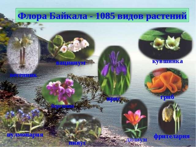 Флора Байкала - 1085 видов растений бергиния ирис дилиум фрителария гриб пулм...