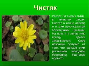 Чистяк Растет на сырых лугах, в тенистых лесах. Цветет в конце апреля и в мае