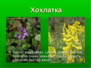 Хохлатка Растет в дубравах. Цветет ранней весной. Хохлатка очень нежная. Если