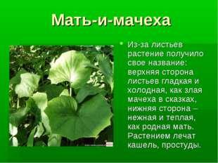 Мать-и-мачеха Из-за листьев растение получило свое название: верхняя сторона
