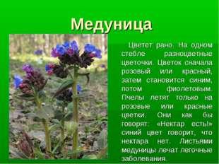 Медуница Цветет рано. На одном стебле разноцветные цветочки. Цветок сначала р