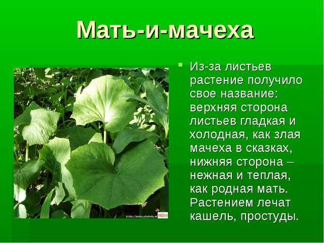 Мать-и-мачеха Из-за листьев растение получило свое название: верхняя сторона...
