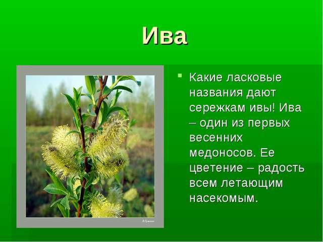Ива Какие ласковые названия дают сережкам ивы! Ива – один из первых весенних...
