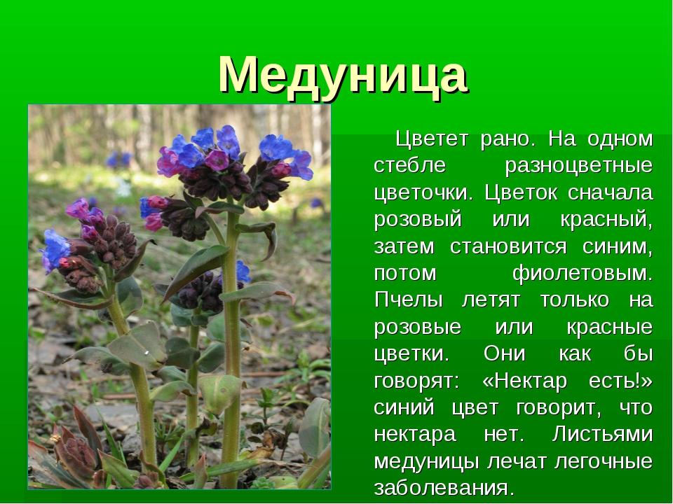 Медуница Цветет рано. На одном стебле разноцветные цветочки. Цветок сначала р...