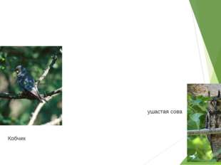 Кобчик ушастая сова