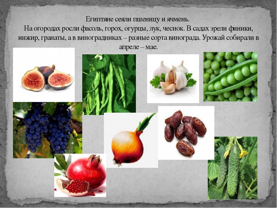 Египтяне сеяли пшеницу и ячмень. На огородах росли фасоль, горох, огурцы, лук...