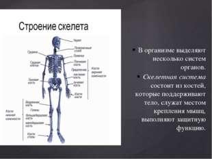 В организме выделяют несколько систем органов. Скелетная система состоит из к