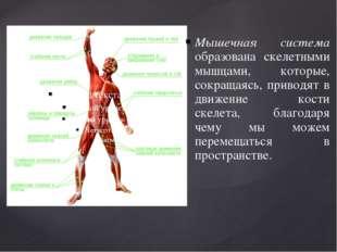 Мышечная система образована скелетными мышцами, которые, сокращаясь, приводят