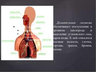 Дыхательная система обеспечивает поступление в организм кислорода и выделени