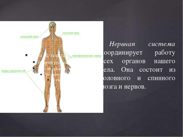 Нервная система координирует работу всех органов нашего тела. Она состоит из...