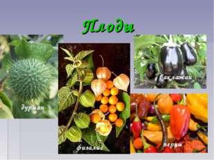 Плоды дурман физалис баклажан перцы