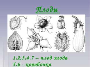 Плоды 1,2,3,4.7 – плод ягода 5,6 - коробочка