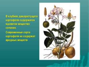 В клубнях дикорастущего картофеля содержится ядовитое вещество соланин. Совре