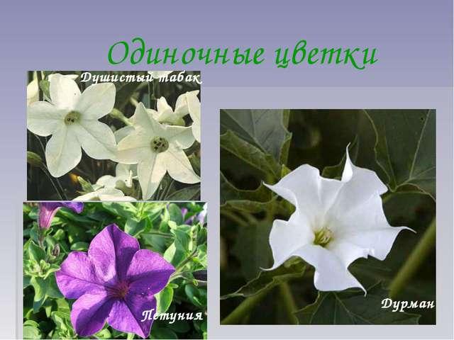 Одиночные цветки Душистый табак Петуния Дурман