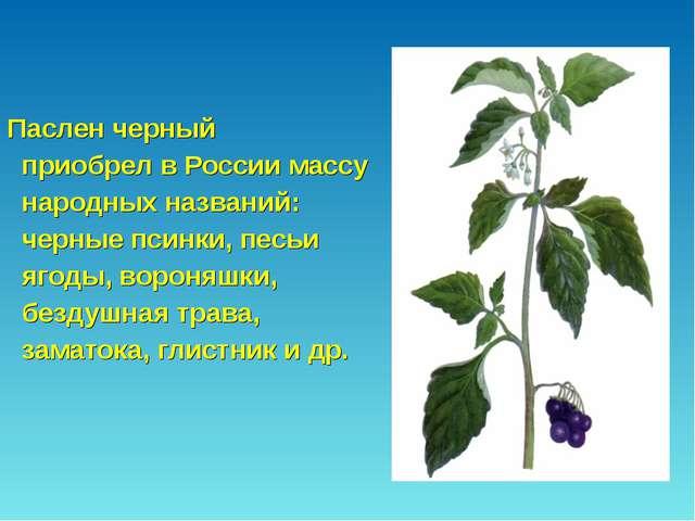 Паслен черный приобрел в России массу народных названий: черные псинки, песь...