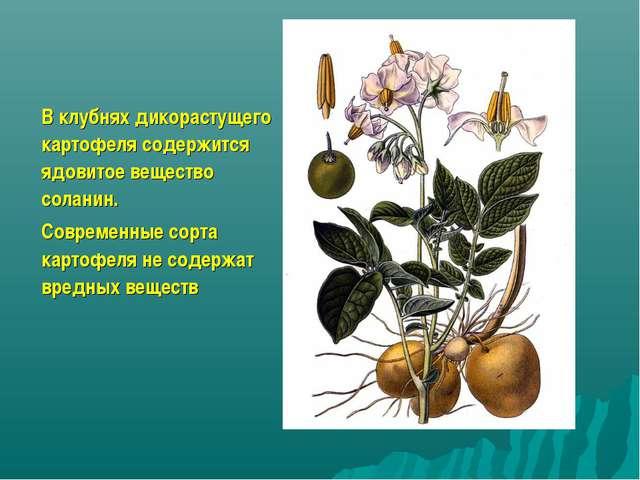 В клубнях дикорастущего картофеля содержится ядовитое вещество соланин. Совре...