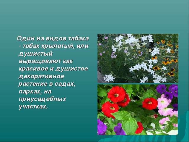 Один из видов табака - табак крылатый, или душистый выращивают как красивое...