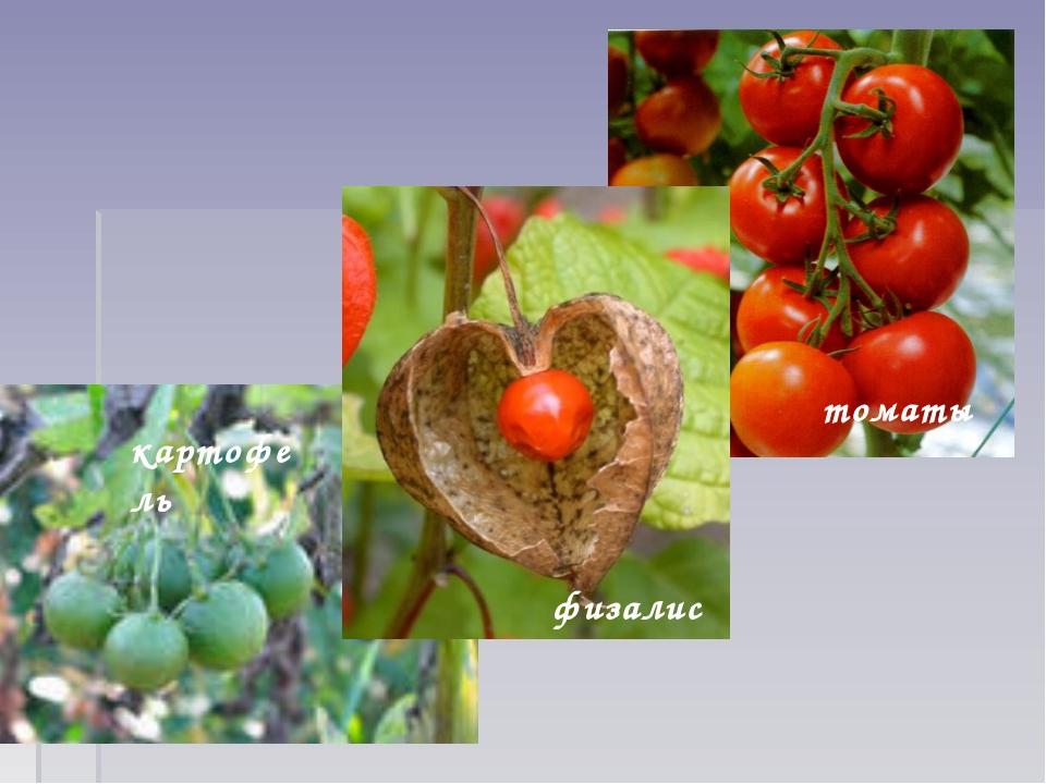 томаты картофель физалис