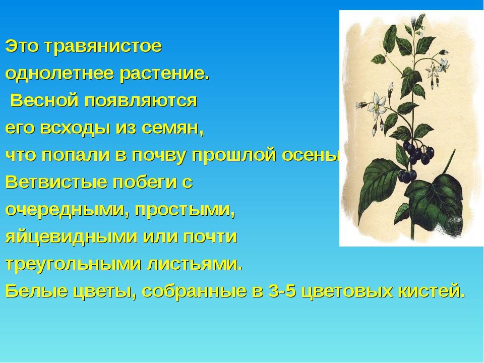 Это травянистое однолетнее растение. Весной появляются его всходы из семян,...
