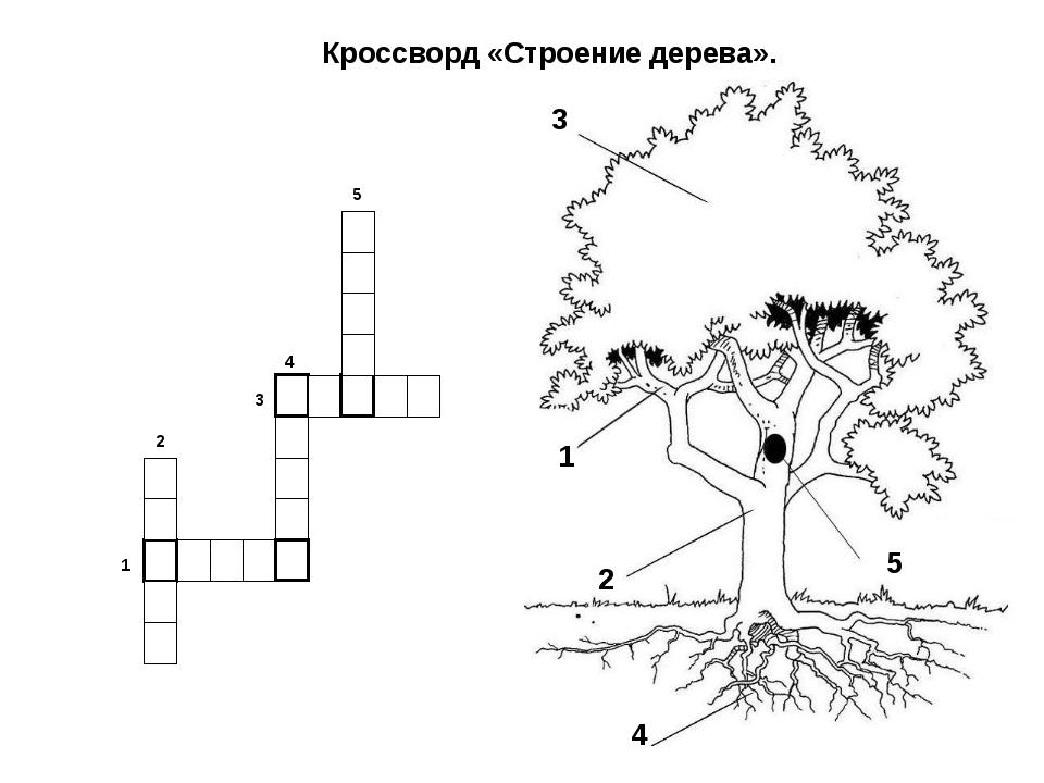 Кроссворд «Строение дерева». 1 2 3 4 5 1 2 3 4 5