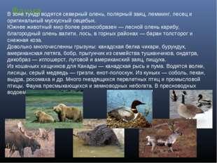 Фауна В зоне тундр водятся северный олень, полярный заяц, лемминг, песец и ор
