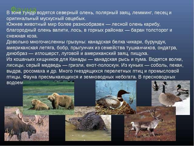 Фауна В зоне тундр водятся северный олень, полярный заяц, лемминг, песец и ор...