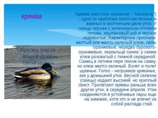 """кряква Кряква (местное название - """"селезень"""") - одна из наиболее многочисленн"""