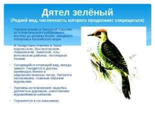 Дятел зелёный (Редкий вид, численность которого продолжает сокращаться) Распр