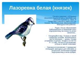 Лазоревка белая (князек) Распространение: побережья Японского Воронежский и О