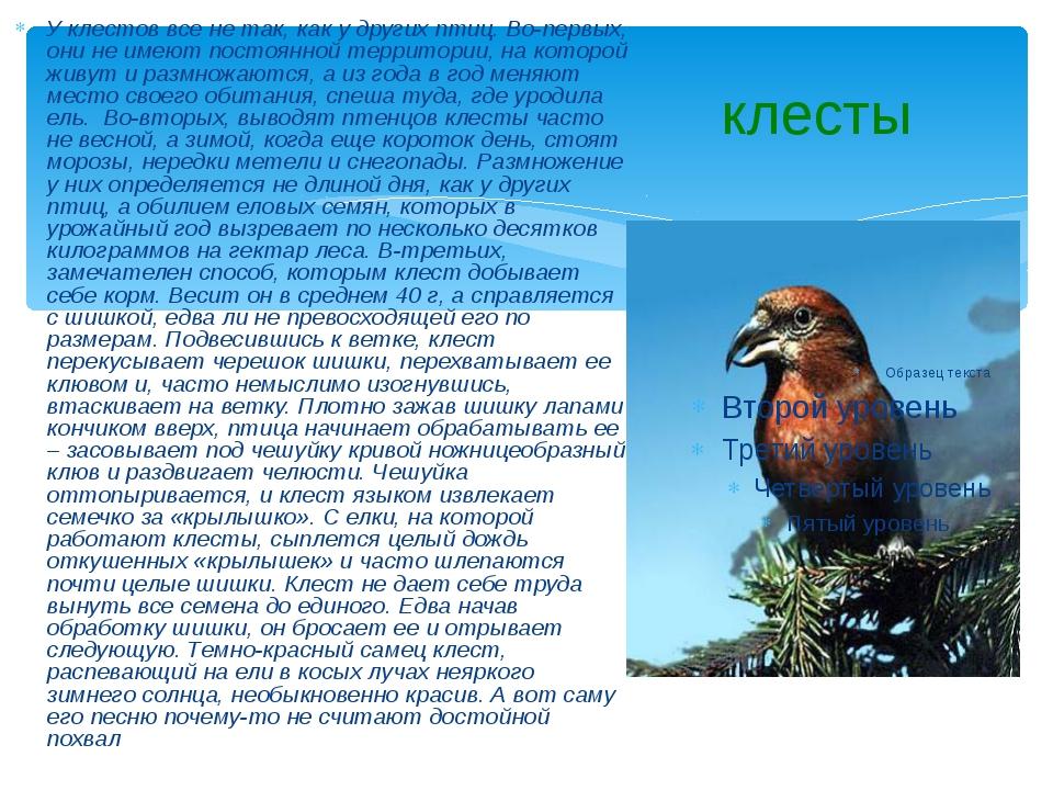 клесты У клестов все не так, как у других птиц. Во-первых, они не имеют посто...