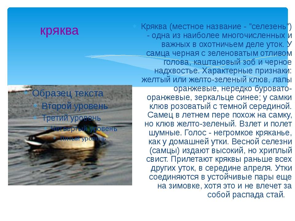 """кряква Кряква (местное название - """"селезень"""") - одна из наиболее многочисленн..."""