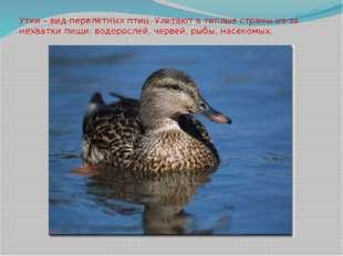 Утки – вид перелетных птиц. Улетают в теплые страны из-за нехватки пищи: водо
