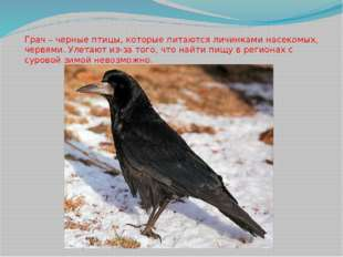 Грач – черные птицы, которые питаются личинками насекомых, червями. Улетают и