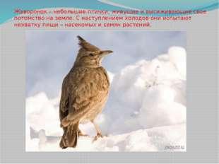 Жаворонок – небольшие птички, живущие и высиживающие свое потомство на земле.
