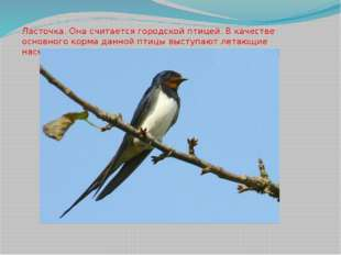 Ласточка. Она считается городской птицей. В качестве основного корма данной п