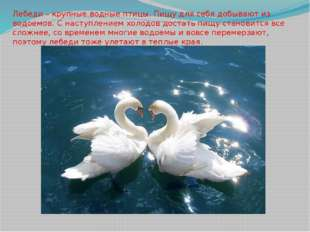 Лебеди – крупные водные птицы. Пищу для себя добывают из водоемов. С наступле