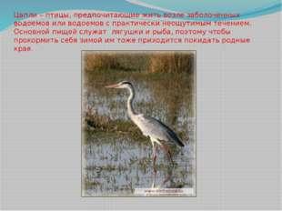 Цапли – птицы, предпочитающие жить возле заболоченных водоемов или водоемов с
