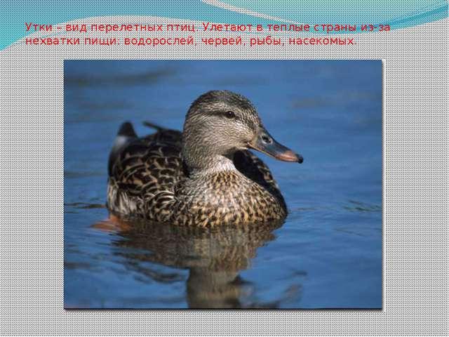 Утки – вид перелетных птиц. Улетают в теплые страны из-за нехватки пищи: водо...