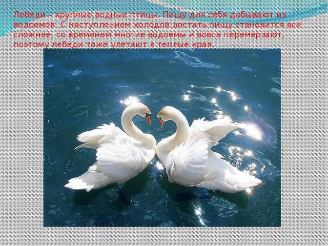 Лебеди – крупные водные птицы. Пищу для себя добывают из водоемов. С наступле...