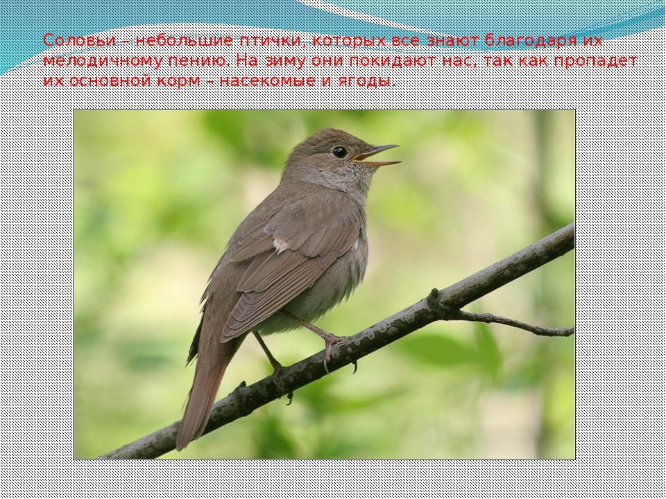 Соловьи – небольшие птички, которых все знают благодаря их мелодичному пению....